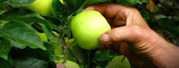 Raccolta della frutta coinvolta nell'emergenza coronavirus. Necessario garantire sicurezza sul lavoro ed ospitalità ai lavoratori stagionali
