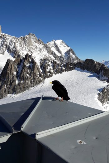 Monte Bianco corvo primo piano