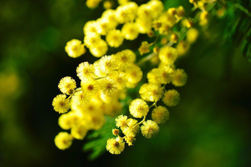 Mimose per l'otto marzo primo piano